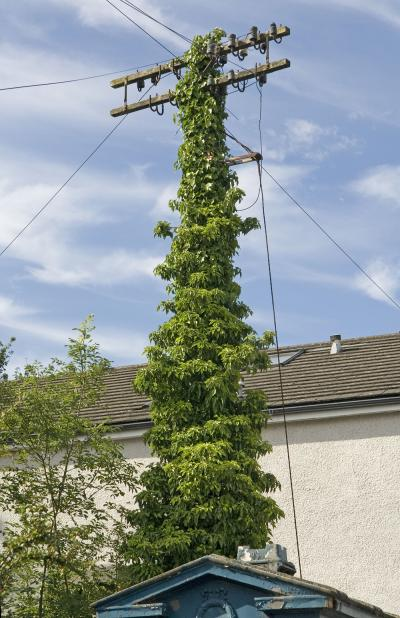 Ivy on the pole